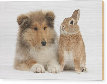 Rough Collie Pup With Rabbit Wood Print by Mark Taylor
