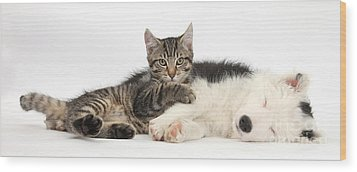 Tabby Kitten & Border Collie Wood Print by Mark Taylor