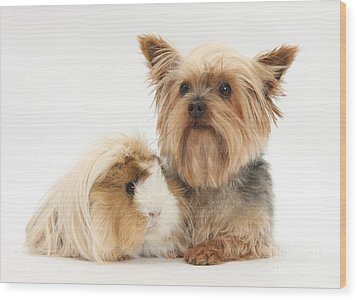 Yorkshire Terrier And Guinea Pig Wood Print by Mark Taylor