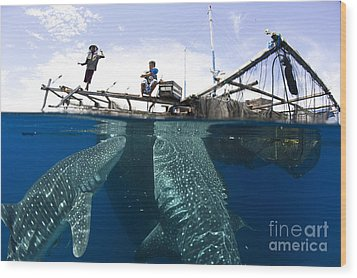 Whale Shark Feeding Under Fishing Wood Print by Steve Jones