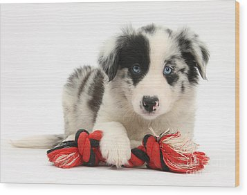 Border Collie Pup Wood Print by Mark Taylor