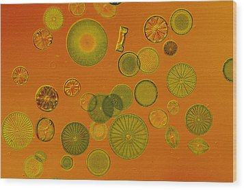 Close View Of Diatoms Wood Print by Darlyne A. Murawski