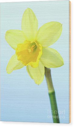 Daffodil (narcissus Sp.) Wood Print by Lawrence Lawry