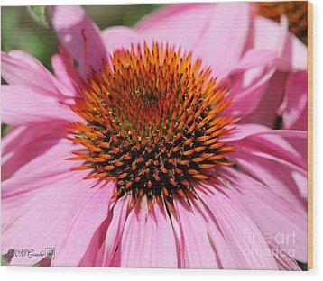 Echinacea Purpurea Or Purple Coneflower Wood Print by J McCombie