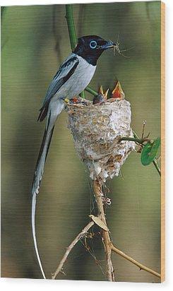 Madagascar Paradise Flycatcher Wood Print by Cyril Ruoso