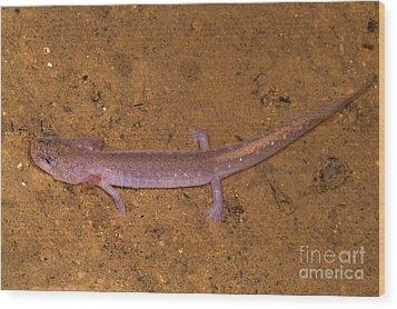 Ozark Blind Cave Salamander Wood Print by Dante Fenolio