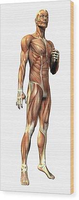 Male Musculature Wood Print by Friedrich Saurer