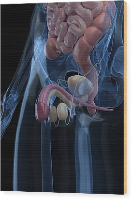 Male Reproductive System, Artwork Wood Print by Sciepro