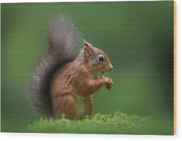 Red Squirrel Wood Print by Andy Astbury
