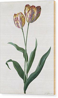 5 Tulip Tulip  Wood Print by Georg Dionysius Ehret