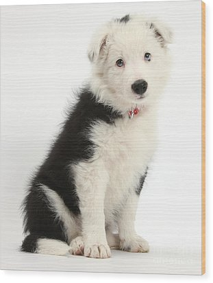 Border Collie Puppy Wood Print by Mark Taylor