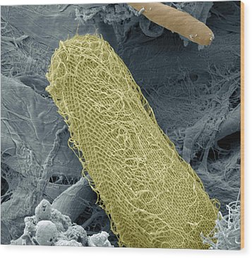 Ciliate Protozoan, Sem Wood Print by Steve Gschmeissner