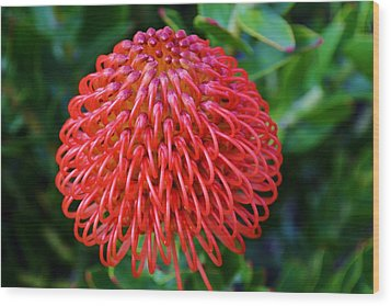 Common Pincushion Protea Wood Print by Werner Lehmann