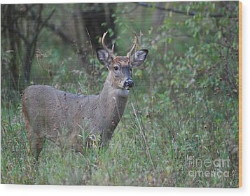 6 Point Buck Wood Print by David Murray