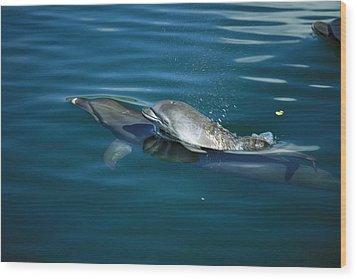 Bottlenose Dolphin Tursiops Truncatus Wood Print by Konrad Wothe