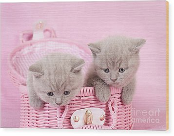 British Shorthair Kitten Wood Print by Waldek Dabrowski