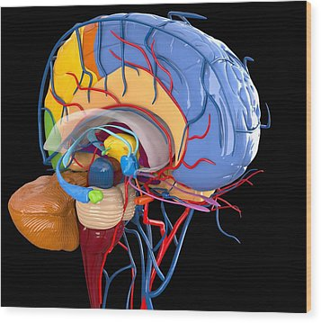Human Brain Anatomy, Artwork Wood Print by Roger Harris