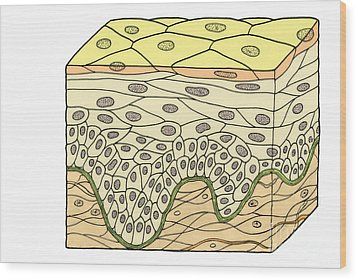 Illustration Of Stratified Squamous Wood Print by Science Source