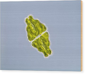 Green Alga, Light Micrograph Wood Print by Gerd Guenther