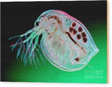 Water Flea Daphnia Magna Wood Print by Ted Kinsman