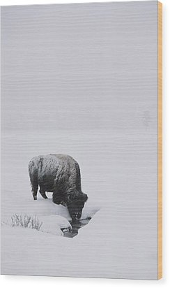 A American Bison Bison Bison Finds Wood Print by Tom Murphy