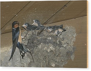 A Barn Swallow Mother Feeds Her Young Wood Print by Norbert Rosing