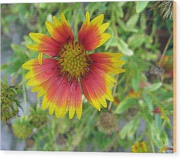 A Beautiful Blanket Flower Wood Print by Ashish Agarwal