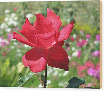A Beautiful Red Flower Growing At Home Wood Print by Ashish Agarwal