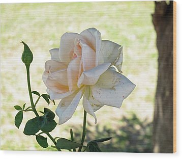 A Beautiful White And Light Pink Rose Along With A Bud Wood Print by Ashish Agarwal