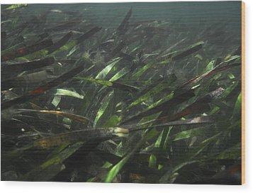 A Bed Of Sea Grass, Posidonia, Ripples Wood Print by Jason Edwards