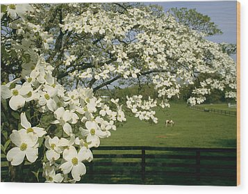 A Blossoming Dogwood Tree In Virginia Wood Print by Annie Griffiths