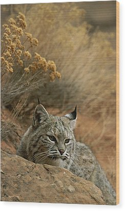 A Bobcat Wood Print by Norbert Rosing