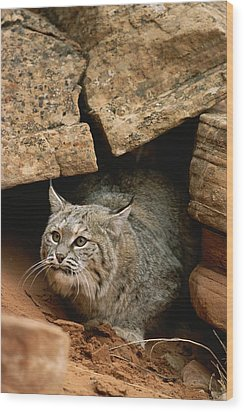 A Bobcat Pokes Out From Its Alcove Wood Print by Norbert Rosing