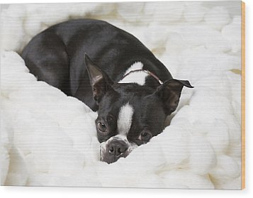 A Boston Terrier Rests On A Puffy White Wood Print by Hannele Lahti