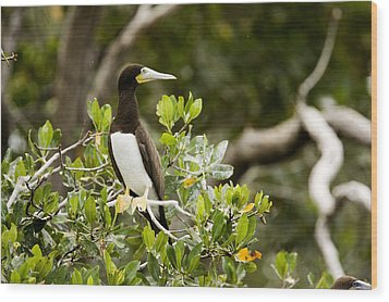 A Brown Booby Sula Leucogaster Wood Print by Tim Laman