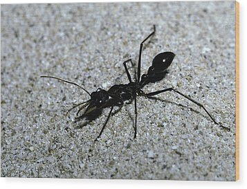 A Bull Ant With Jaws Opened Wood Print by Jason Edwards