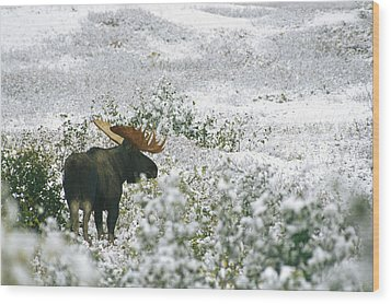 A Bull Moose On A Snow Covered Hillside Wood Print by Rich Reid