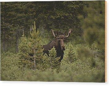 A Bull Moose Stops For A Photograph Wood Print by Raymond Gehman
