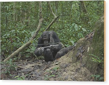 A Chimp At A Termite Mound Fishing Wood Print by Ian Nichols
