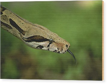 A Close View Of A Red-tailed Boa Wood Print by Joel Sartore