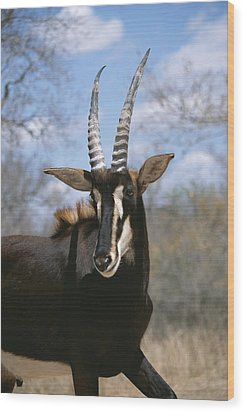 A Close View Of A Sable Antelope Wood Print by Beverly Joubert