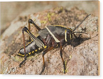 A Colorful Lubber Grasshopper Wood Print by Jack Goldfarb