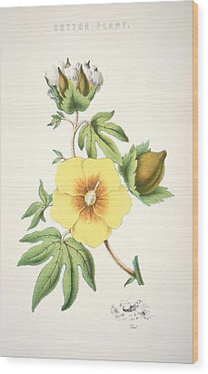 A Cotton Plant Wood Print by American School