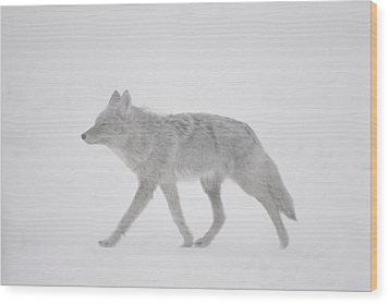 A Coyote Canis Latrans Moves Wood Print by Annie Griffiths