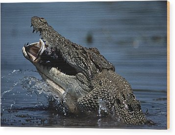 A Crocodile Eats A Giant Perch Fish Wood Print by Belinda Wright