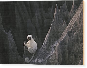 A Deckens Sifaka Lemur In The Grand Wood Print by Stephen Alvarez