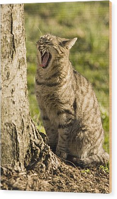 A Domestic Cat Yawning By A Tree Wood Print by Tim Laman