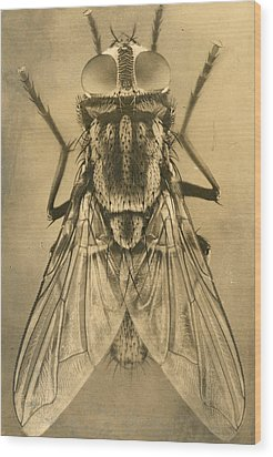 A Female House Fly Resting On Glass Wood Print by N.A. Cobb