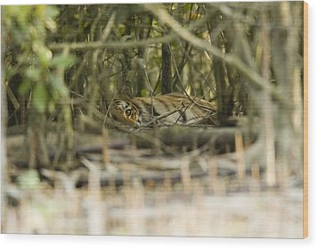 A Female Tiger Rests In The Undergrowth Wood Print by Tim Laman