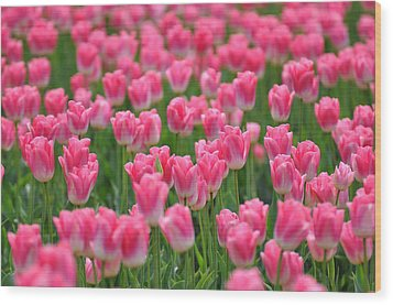Wood Print featuring the photograph A Field Of Pink Tulips by Ronda Broatch